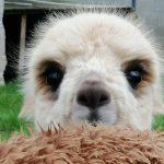 Kleine alpaca