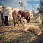Epic Alpaca Farm in Meer